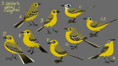 Western Yellow Wagtail concepts (color)